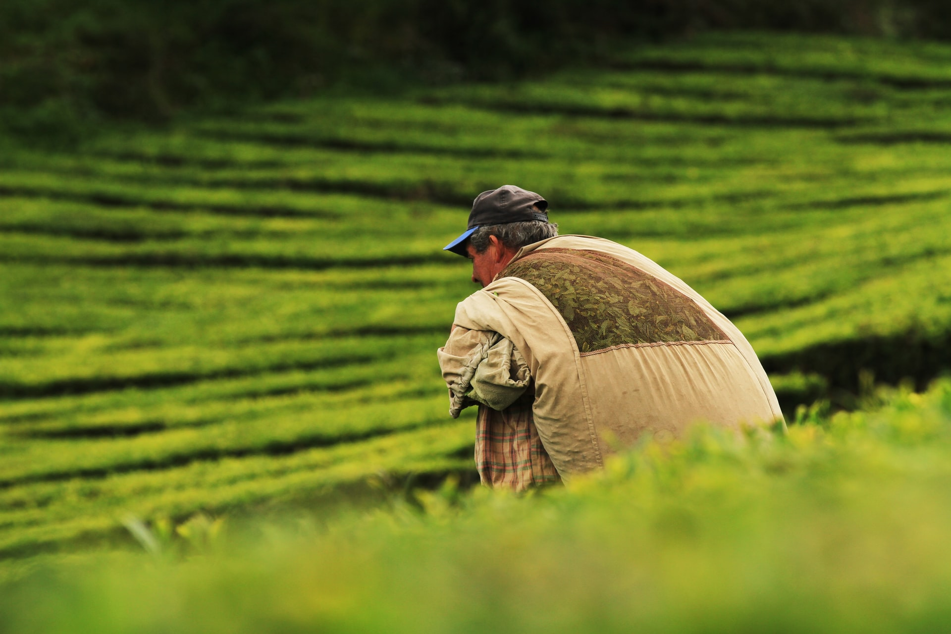 Migrant worker harvesting tea