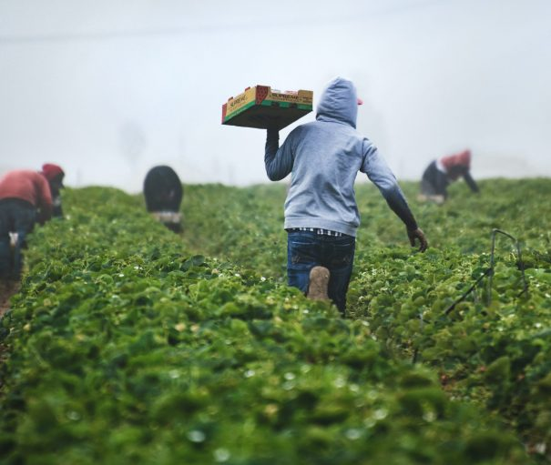 Migrant workers picking strawberries